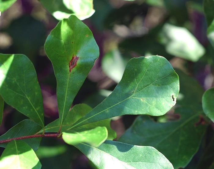 Leaves close